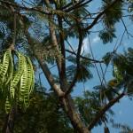 Groszek na drzewie