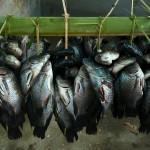 Rybki z Palak Dil