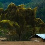 Supha, fajne drzewo